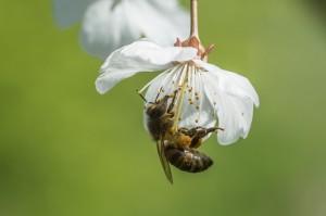 Honey Bee-5392